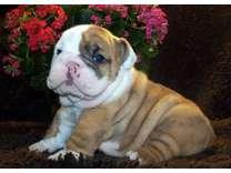 AIWPLIT English Bulldog Puppies