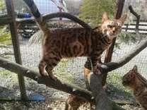 family surroundings Tica Register Bengal Kittens Girls And Boys