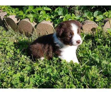 Red bi mini aussie is a Red Male Australian Shepherd Puppy For Sale in Glasgow KY