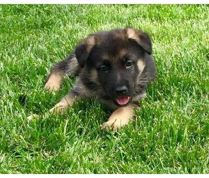 RDFXC German Shepherd Dog Puppies is a German Shepherd For Sale in Minnetonka MN