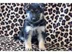 ENBI Peaceful AKC registered German Shepherd Puppies