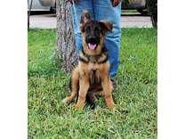 AKC 16 Week Old Female German Shepherd Puppy..Top Bloodlines