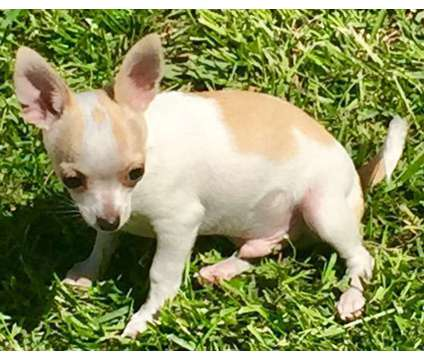 Male Chihuahua Puppies is a Male Chihuahua For Sale in Winchester CA