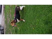 Beagle female1 year