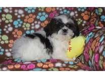 jslskal Shih Tzu puppies for sale now so