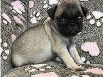 ggffddttrrfyyruu Pug Puppies