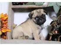 makslpolskpaksqqaaswwqa Pug Puppies