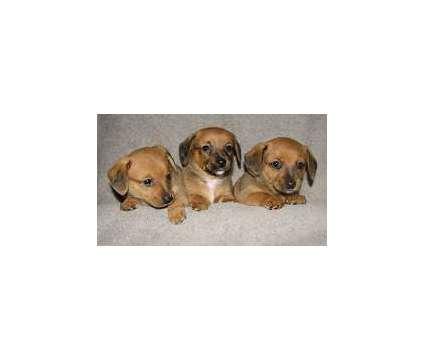 dnfjdnryyyytub Dachshund Puppies is a Dachshund Puppy For Sale in Higley AZ