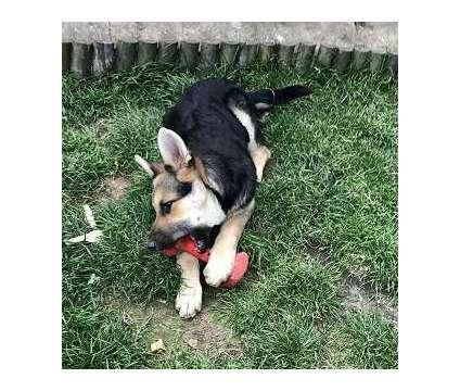 ASBGSA AKc Registered German Shepherd Girl And Boy Puppies is a Female German Shepherd in Tell TX