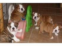 Sharp English Bulldog Puppies
