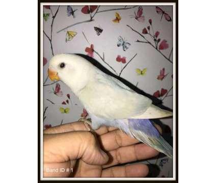 Lovebird Baby - Frosty is a Male Lovebird Baby For Sale in Jacksonville FL
