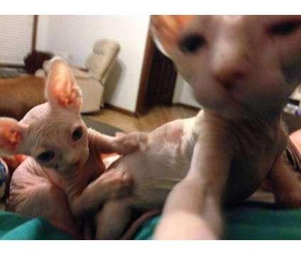*%%^^*Cute Sphynx kittens for sale is a Sphynx Kitten For Sale in Mint Hill NC
