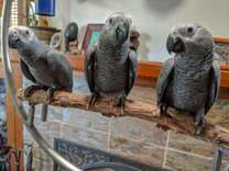 Baby African Grey Parrots for sale