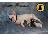 Blue French Bulldog
