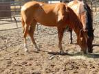Pure Spanish chestnut Andalusian filly could be liver chestnut