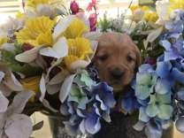 Miniature Golden Retriever Puppies