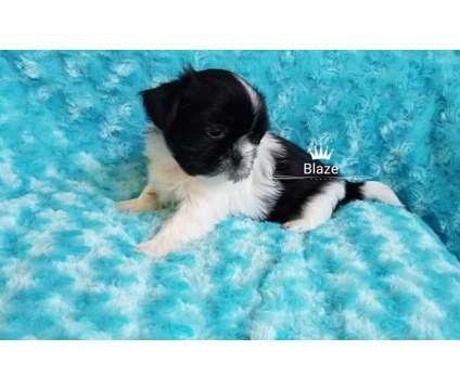 Shih tzu is a Male Shih-Tzu Puppy For Sale in Lakeland FL