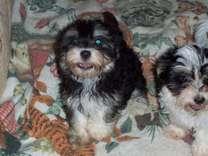 Malti-Poo puppy 3 Months Old