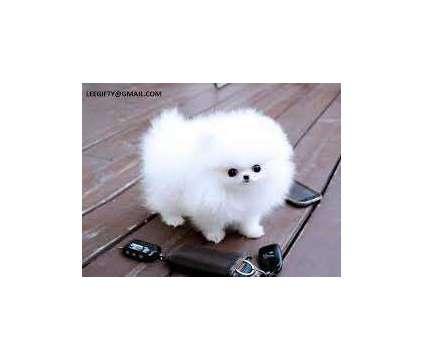 kjmgngbfvdcsaxsv....T-C Pomeranian puppies available is a Male Pomeranian For Sale in Keasbey NJ