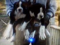 2 Boxer Full Bred Boys