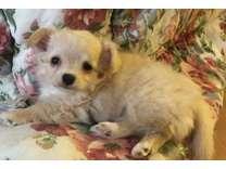 Purebred Chihuahua female Pups