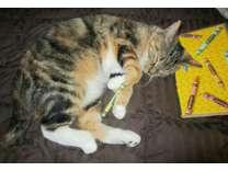Female Calico Cat - Melanie
