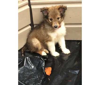 Female Sheltie is a Female Shetland Sheepdog Puppy For Sale in Boaz AL