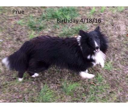 Prue is a Female Shetland Sheepdog For Sale in Albertville AL
