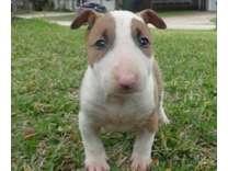 kjnhggyjuj male and female Bull Terrier Pup for sale