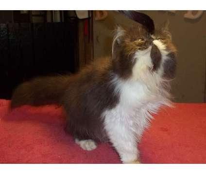 Black Persian Kitten is a Black Male Persian Kitten For Sale in Panama City Beach FL
