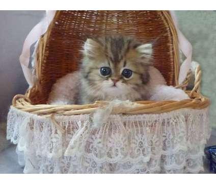 Persian Kittens for Sale is a Female Persian Kitten For Sale in Honolulu HI