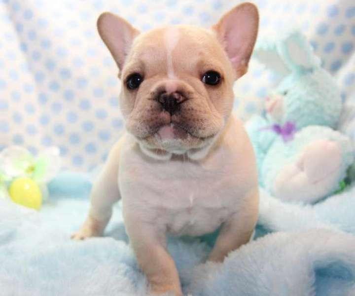 IQJJQ French Bulldog Puppies