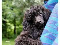 CKC Miniature Poodle, 1 male ready now