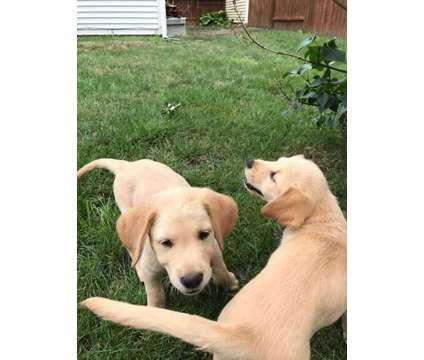 golden retieiver mix is a Male Golden Retriever Puppy in Aurora IL