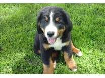 lalslld Bernese Mountain Dog