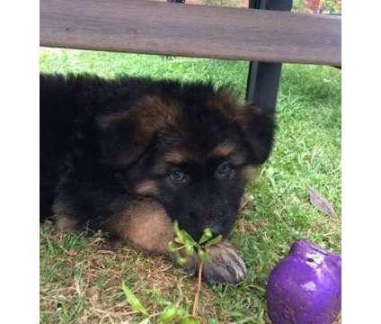 tghfd.. Super-clean German Shepherd Puppies is a German Shepherd Puppy For Sale in Los Alamos NM