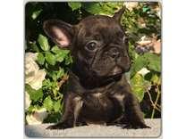 French Bulldog AKC