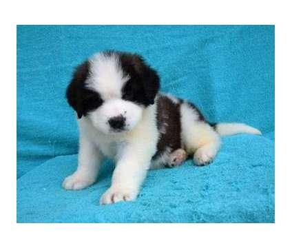 7762 Gentle Saint Bernard Babies Ready For Sale is a Saint Bernard Puppy For Sale in Honolulu HI
