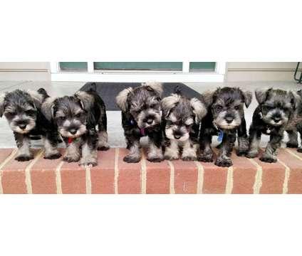 Mini Schnauzer puppies is a Male Miniature Schnauzer Puppy For Sale in Ashland VA