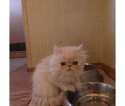 Kitten is a Female Himalayan Kitten For Sale in Denver CO