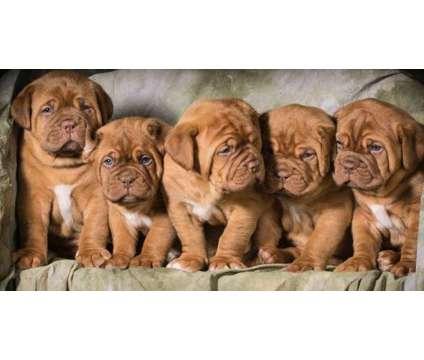 YJHDFJHFD Dogue De Bordeaux Pups is a Male Dogue de Bordeaux For Sale in Seattle WA