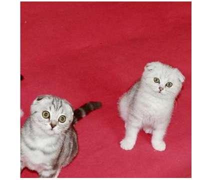 JDFH#$%&^$FD Scottish Fold Kittens Male/Females is a Female, Male Scottish Fold Kitten For Sale in Independence MI