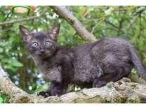 FHRF%&#%FHAF Bombay Kittens For Good Homes