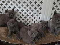 rfjhrdfgn%$& Champion Line British Shorthair Blue Kittens