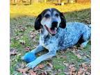 Adopt Jondo a White Bluetick Coonhound / Mixed dog in hopkins, SC (18673758)