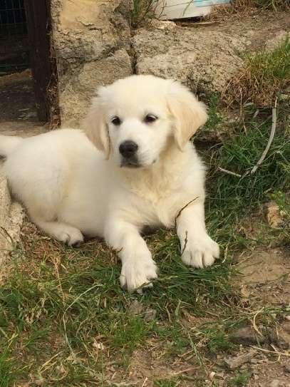 Nice Golden retriever puppies