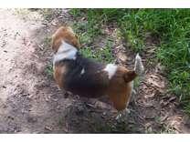 AKC adult Beagle dogs