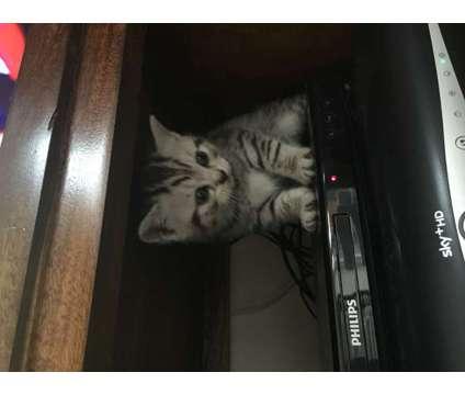 british shorthair gccf registered kittens for sale is a British Shorthair Kitten For Sale in Stoke-on-Trent STS