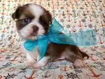 Imperial Shih-Tzu puppy