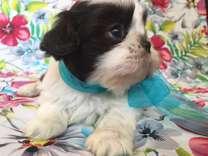 Chocolate Imperial Shih-Tzu Puppy